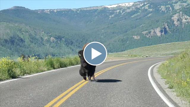 On Safari in Yellowstone –Summer 2015