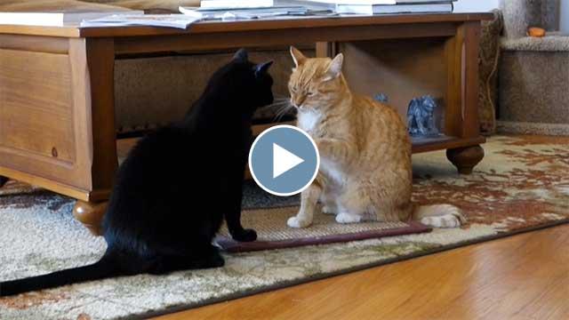 Pan and Hera Demonstrate Cat Boxing