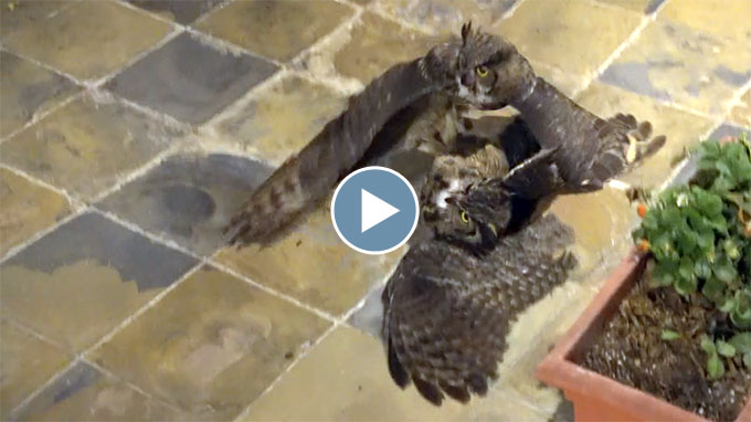 Great Horned Owl Fight – October 2020