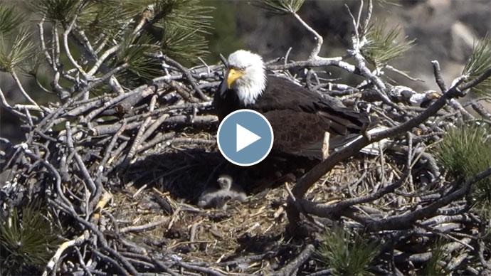 Bald Eagle Chicks - April 2021