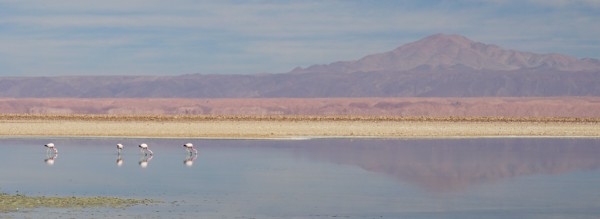 Pink flamingos in the Salar de Atacama
