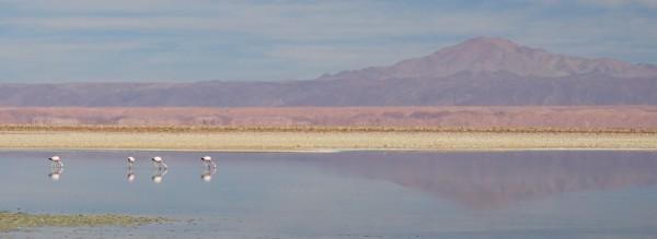 Pink flamingos in the Salar de Atacama